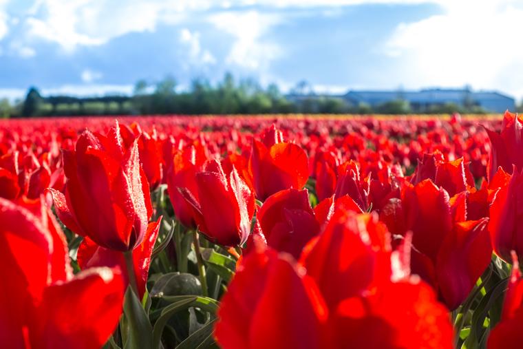 Red Tulips Hillegom Haarlem Amsterdam